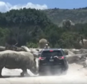 TERROR EN AFRICAM SAFARI PUEBLA: EMBISTE RINOCERONTE A CAMIONETA FAMILIAR (VIDEO)