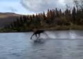 VIDEO:  SORPRENDE UN ALCE CORRIENDO POR ENCIMA DE UN RÍO EN ALASKA