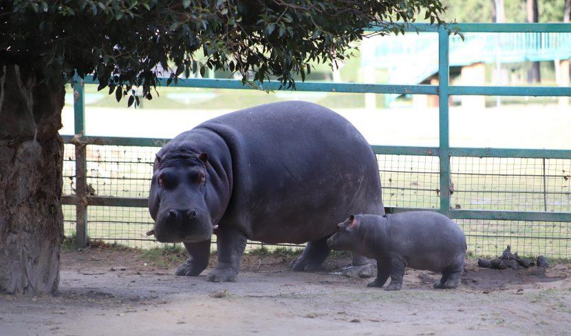 AUMENTA CRÍA DE HIPOPÓTAMO DEL NILO SU ESPERANZA DE VIDA
