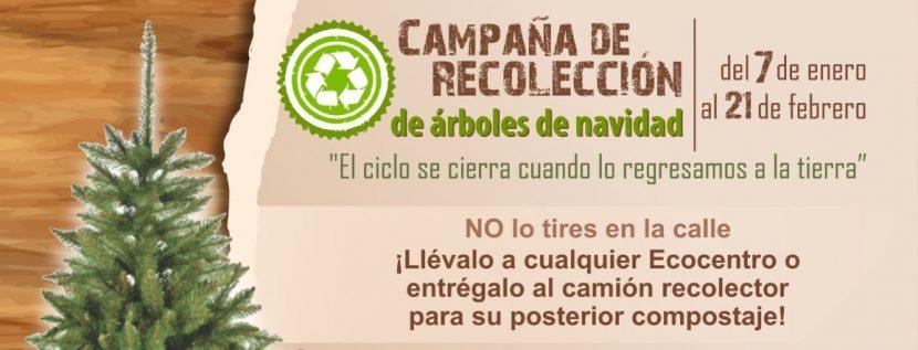 INICIA TOLUCA CAMPAÑA DE ACOPIO DE ÁRBOLES NATURALES DE NAVIDAD